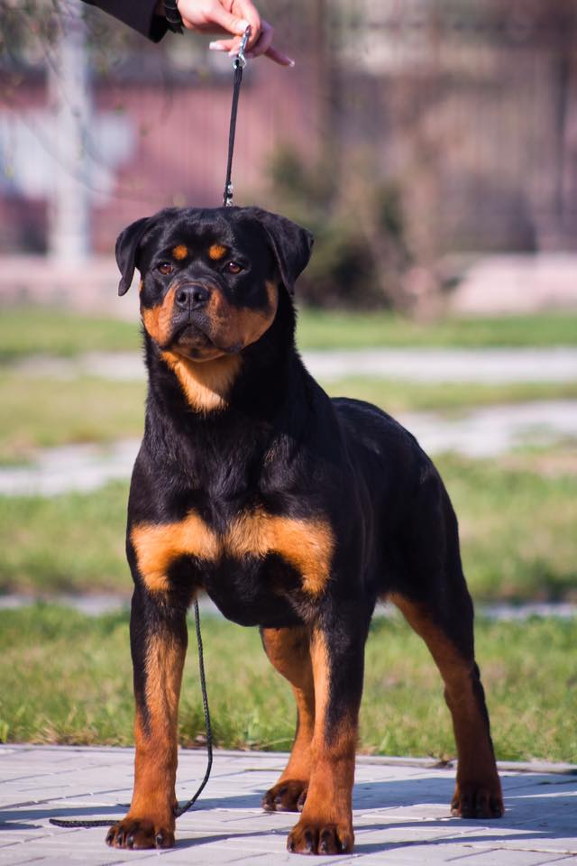 http://farvistgold.narod.ru/ENG/nashifito/varshava/puppy/arlos/rada10.jpg